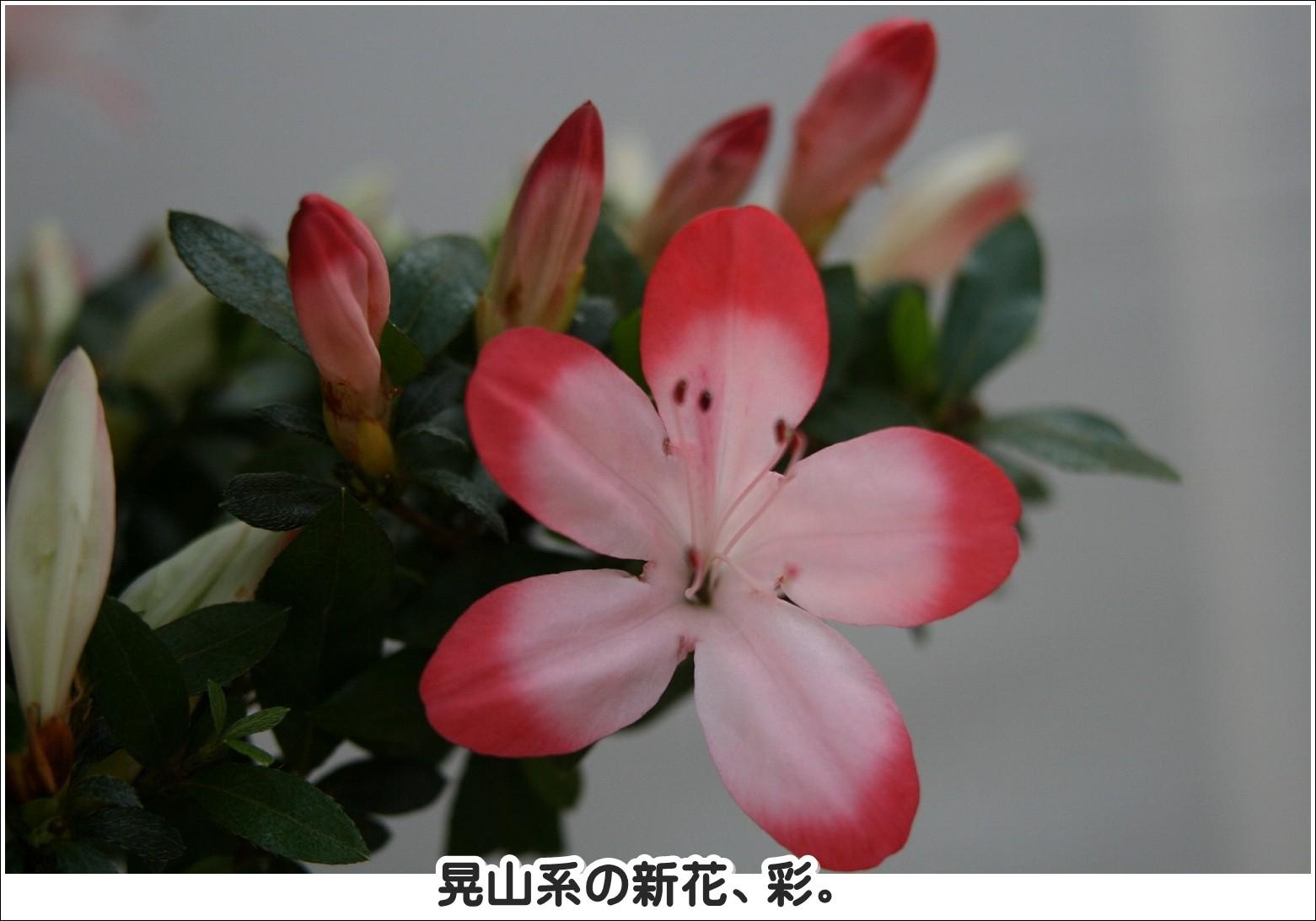 晃山系の新花、彩。