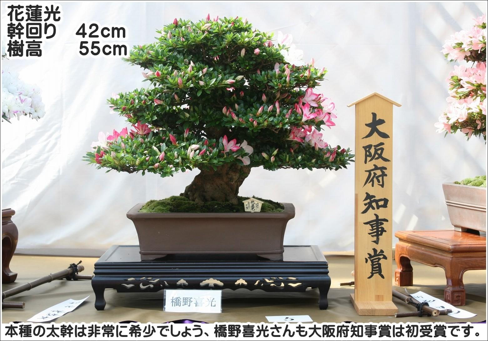 本種の太幹は非常に希少でしょう、橋野喜光さんも大阪府知事賞は初受賞です。