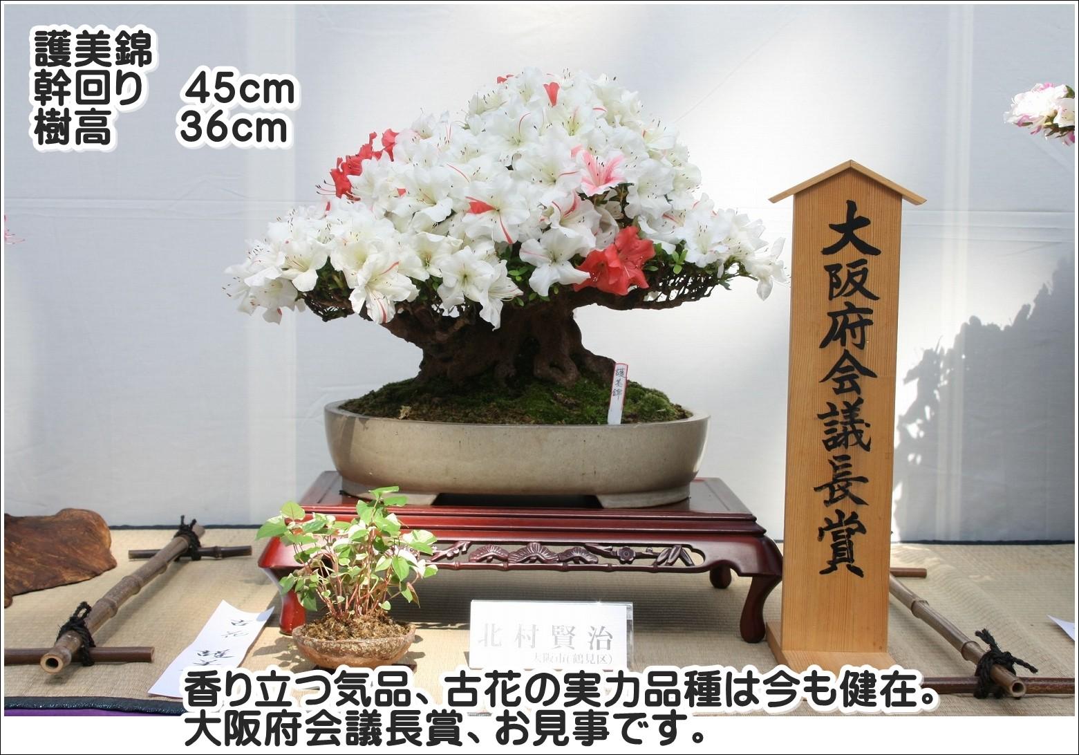 香り立つ気品、古花の実力品種は今も健在。大阪府会議長賞、お見事です。
