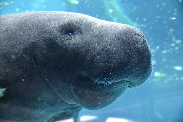 Sehkuh | Manatee | Rotes Meer