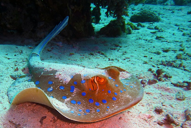 Blaupunktrochen | Rotes Meer