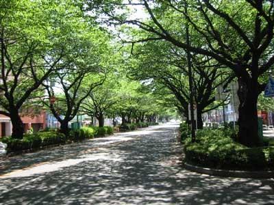 10.右に曲がると、桜の並木道。ここが西門商店街です。春は桜がキレイです。