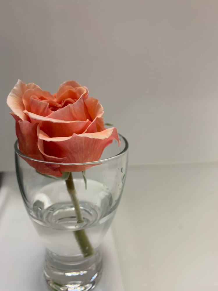 8月に頂いたバラを挿し木したら、今こんなバラが咲いていますよ❣️