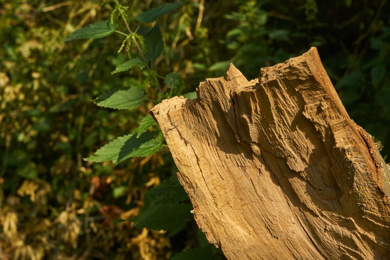 die sich dunkel abzeichnende Trennschicht und das gebildete Weißholz