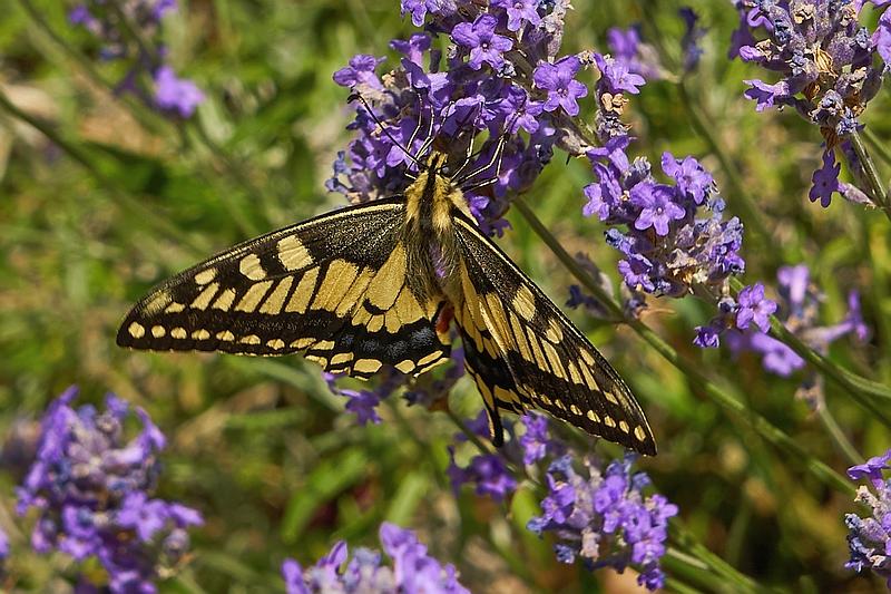 ein selterner Schmetterling: der Schwalbenschwanz