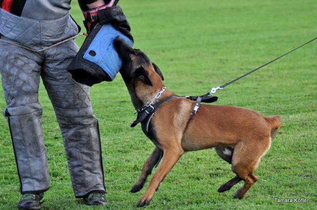 Pegge Policedogs Rocco