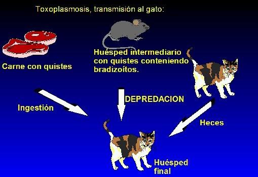 Por qué las lombrices salen a los gatos