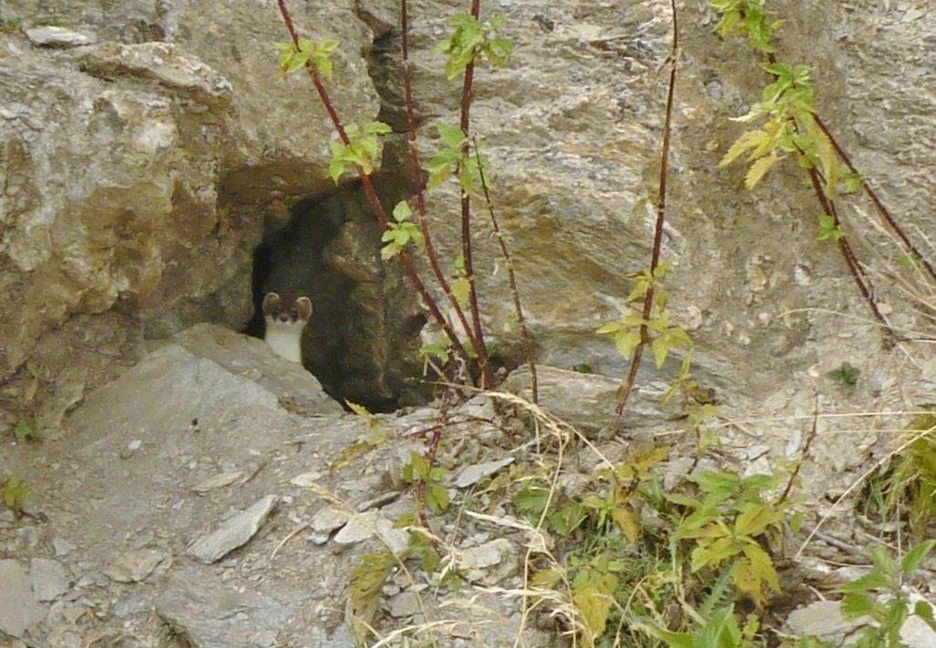 L'hermine joue à cache cache