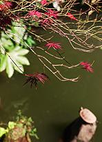 楓の紅葉 -東京 小日向 本法寺-東京都文京区のお墓 永代供養墓 法要-