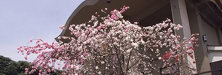 源平桃 -東京 小日向 本法寺-東京都文京区のお墓 永代供養墓 法要-