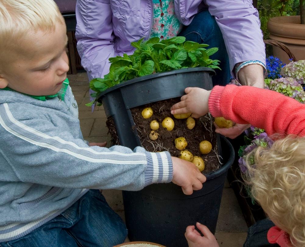 Cultivo patatas en maceta gp for Como cultivar patatas