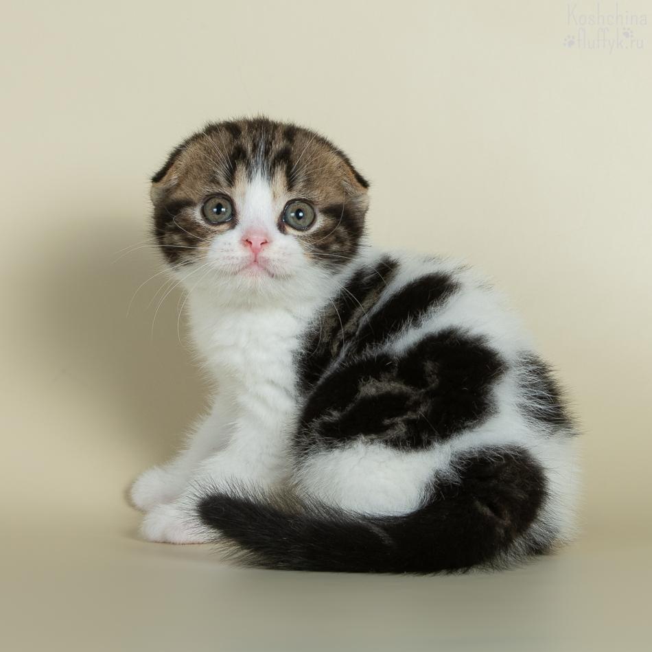 Шотландский вислоухий котенок,  котик Персей, окрас черный мраморный биколор