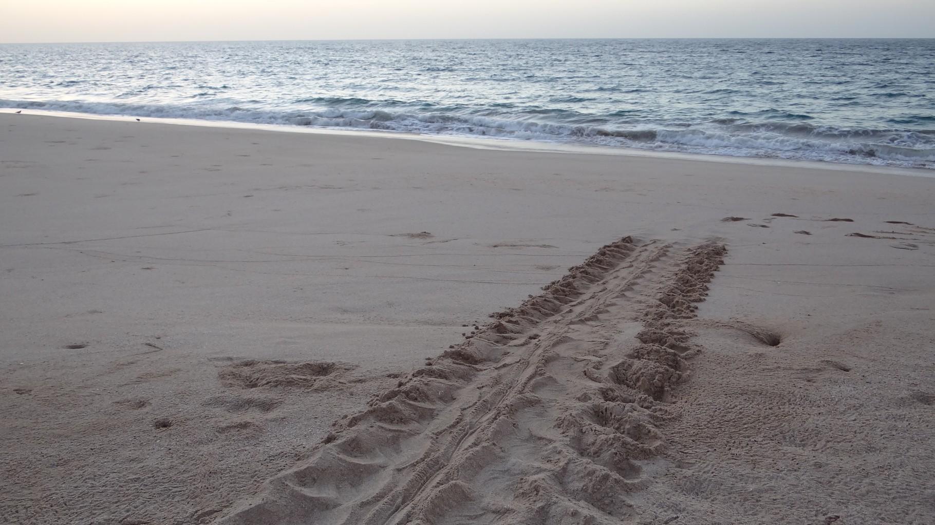 Schildkrötenspuren in Ras-al Jinz