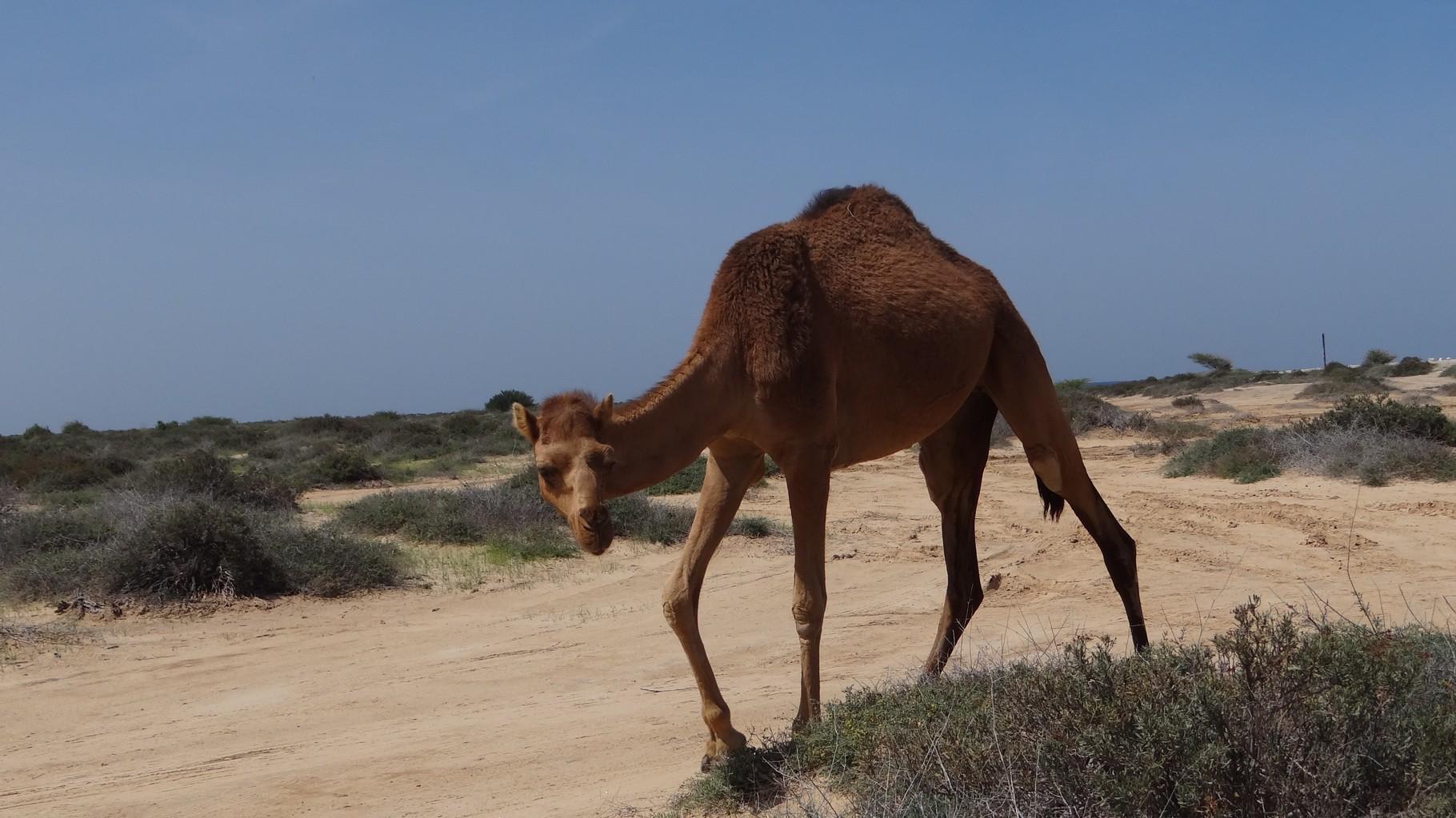 Unterwegs gab es doch tatsächlich Kamele!