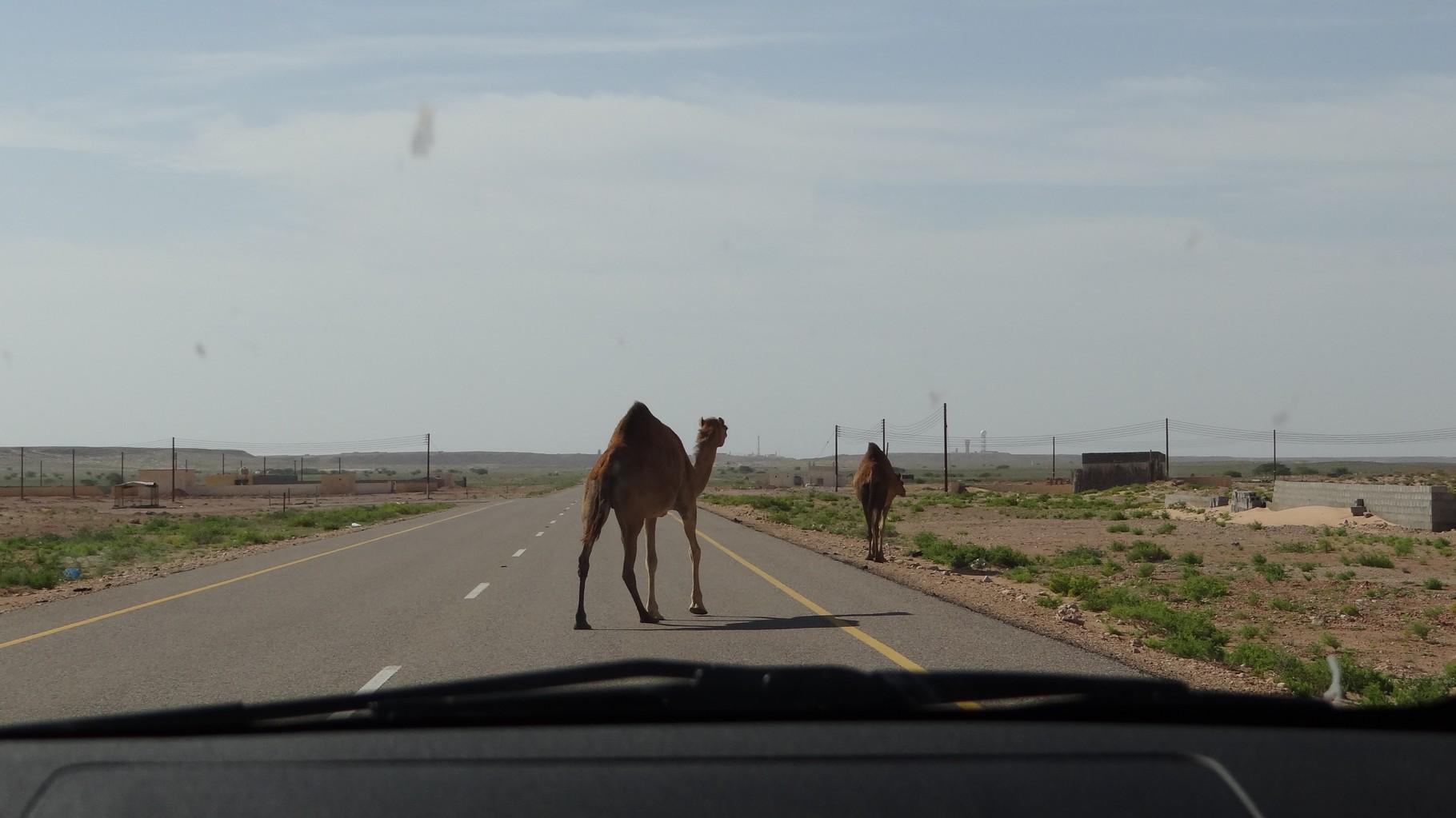 Und schon wieder Kamele, einfach mitten auf der Strasse
