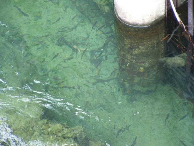 PESCA ALLA TROTA. Qui trote sotto il ponte di Morca - Varallo