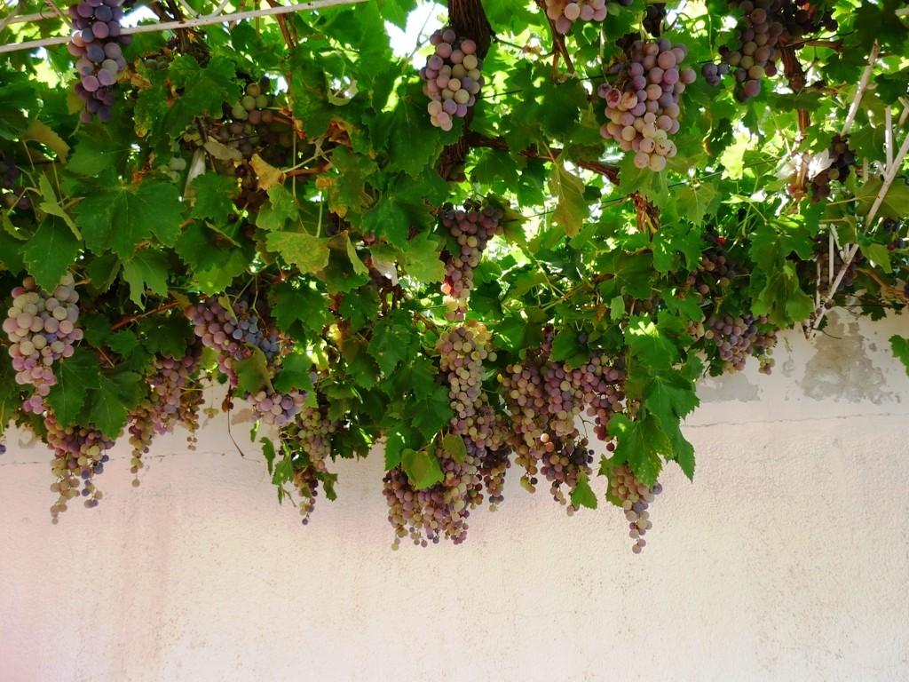 La casa de Roberto: la uva