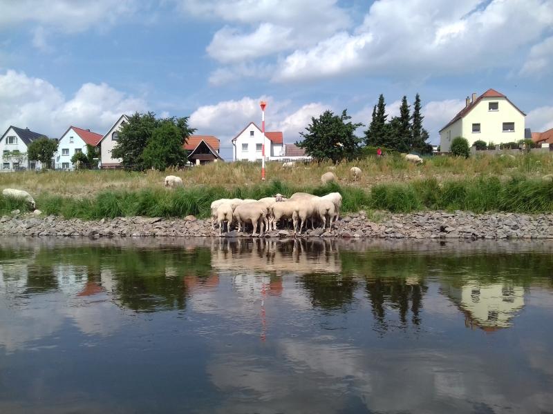 Scharfer Schafsverstand. Gemeinsam gegen die Hitze.
