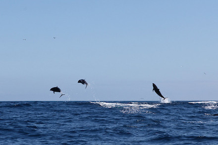 3 Dolphins jumping by timkelley