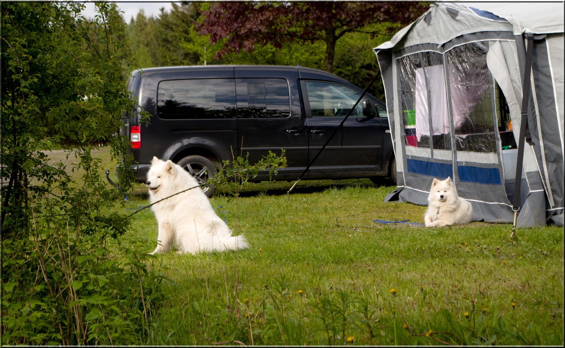 Camping mit 3 Samojeden.....