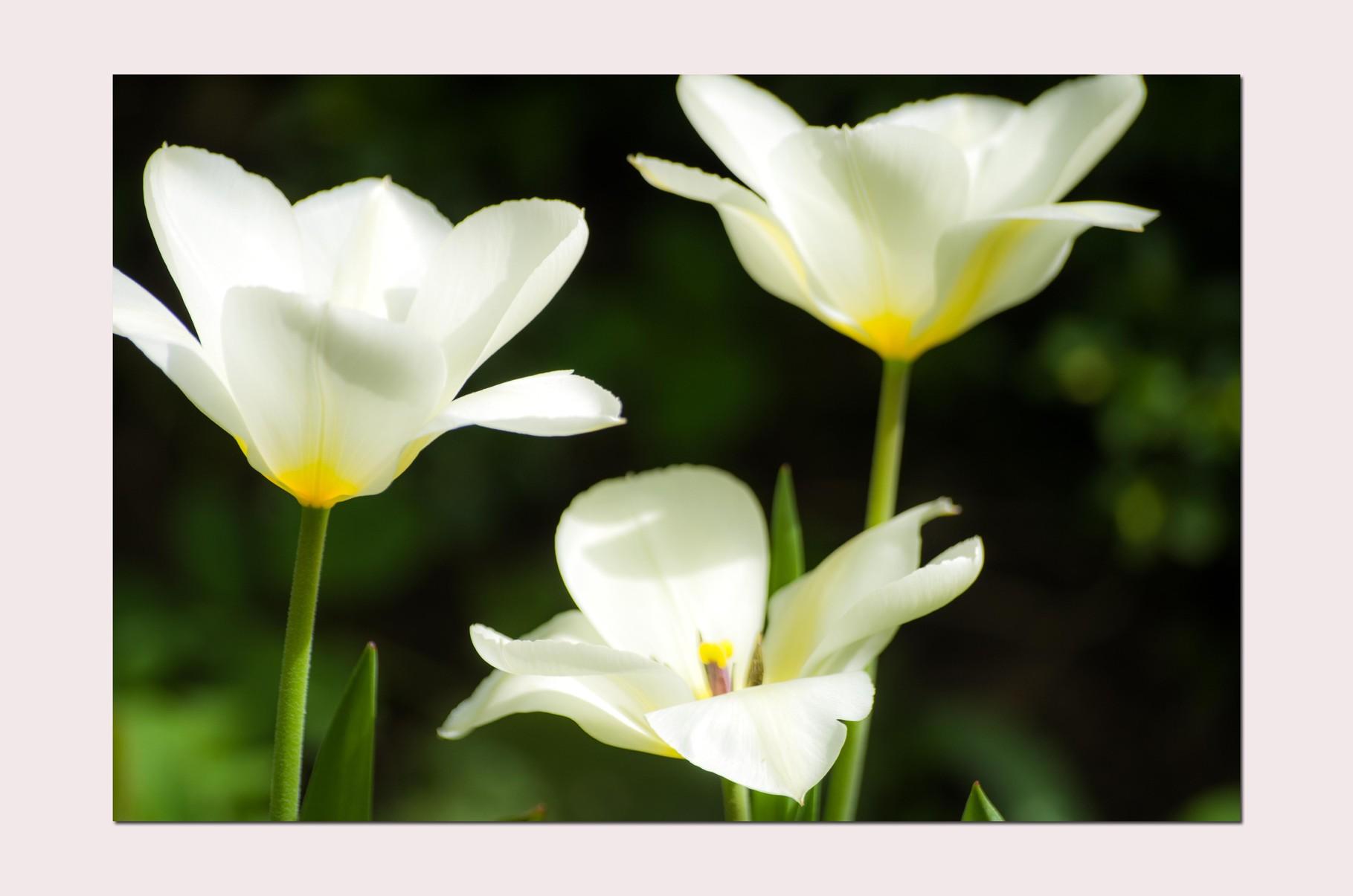 Mama´s Tulpen
