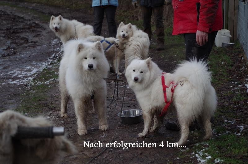 unsere Hunde das erste Mal im Gespann mit Horst Klank´s Samojeden, so hat alles begonnen...