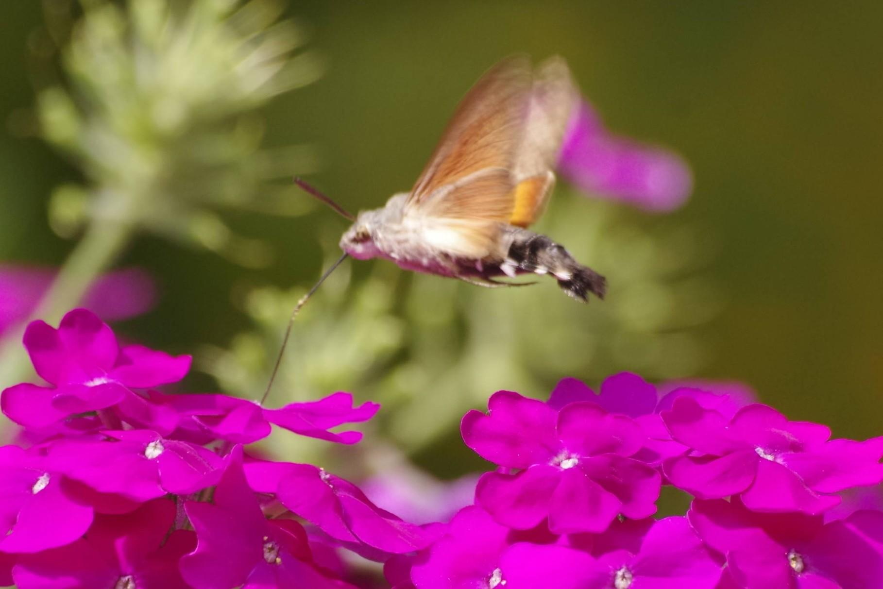 da ist er ..... der nektarsaugende Schwalbenschwanz