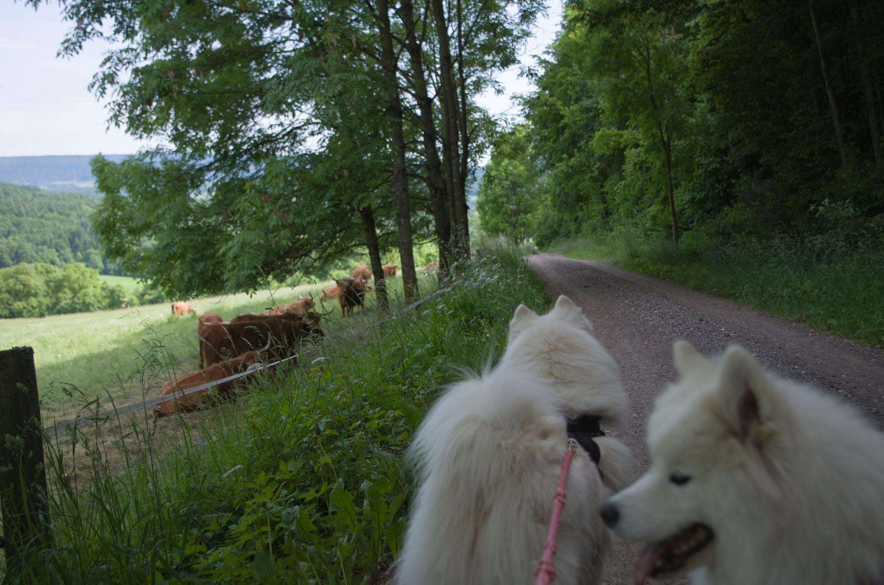 Schottische Hochlandrinder am Wegesrand