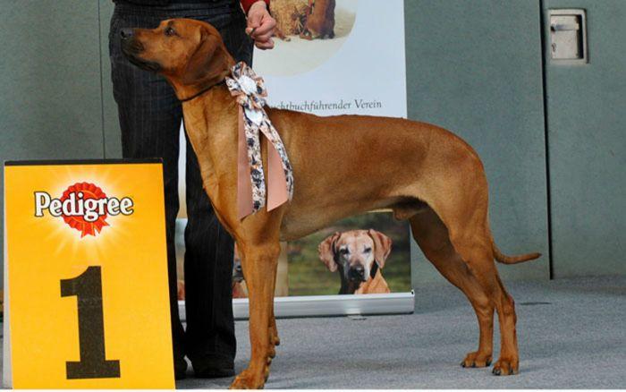 Bester Junghund Rügen 2013 / CHAKA