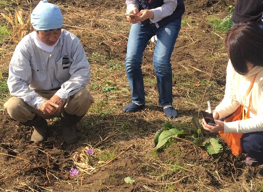 サフラン 自然栽培 固定種 農業体験首都圏 体験農場首都圏 野菜作り教室首都圏  さとやま農学校 無農薬栽培