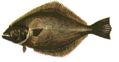 Lenguado de ojos chicos (Paralichthys microps)