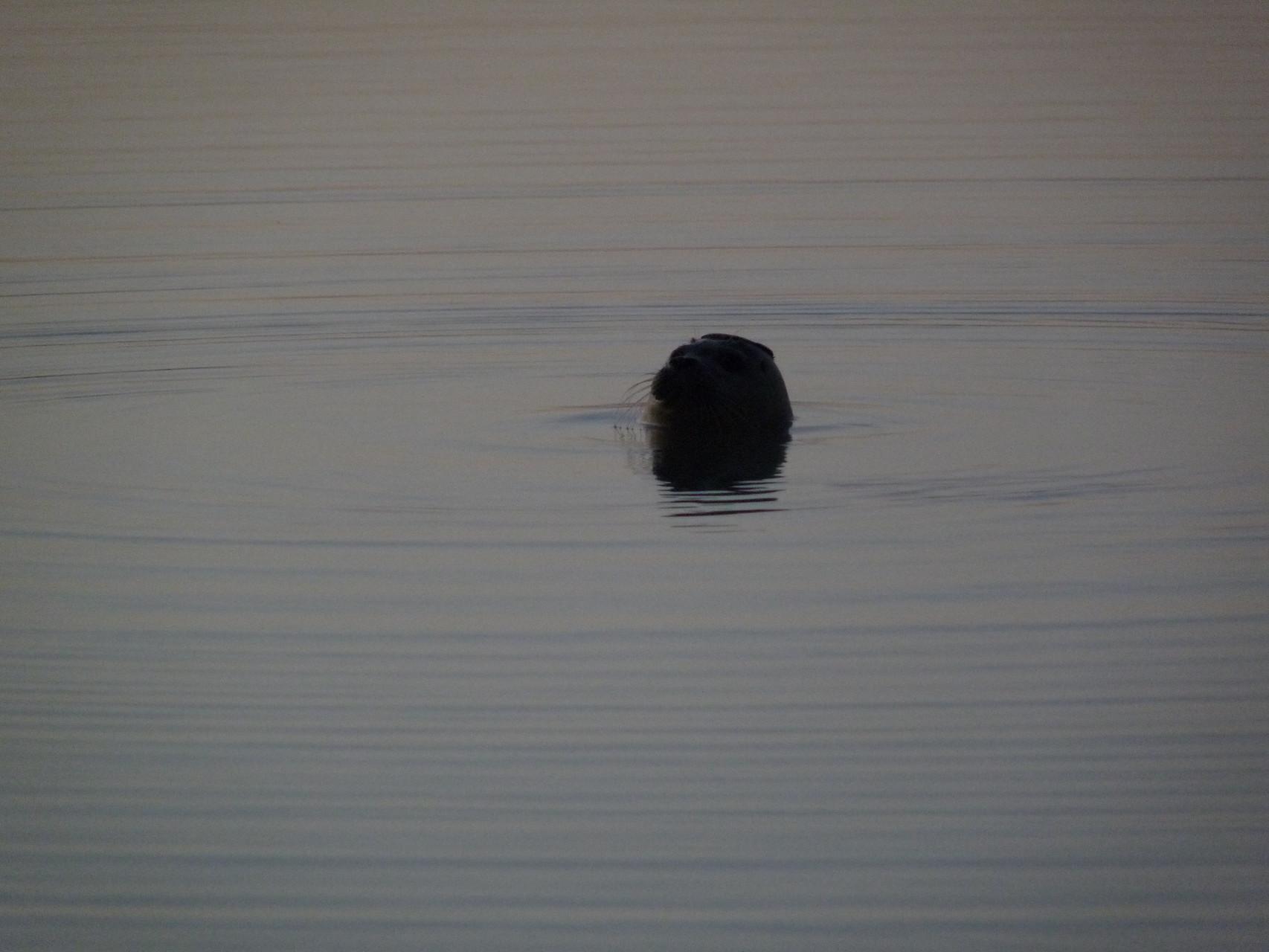 Jeune phoque au Hourdel ©milou-en-baie