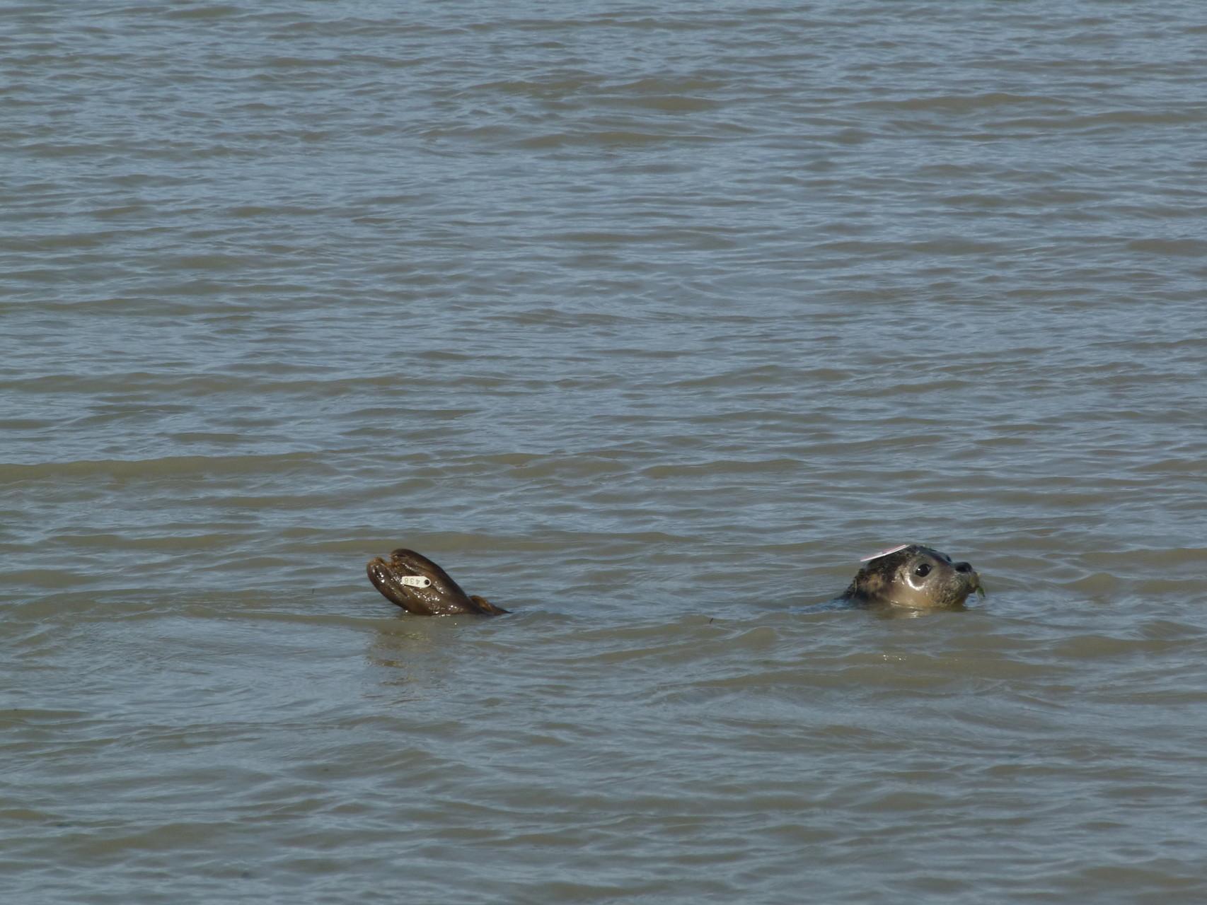 Relâcher de phoques 2014 ©milou-en-baie