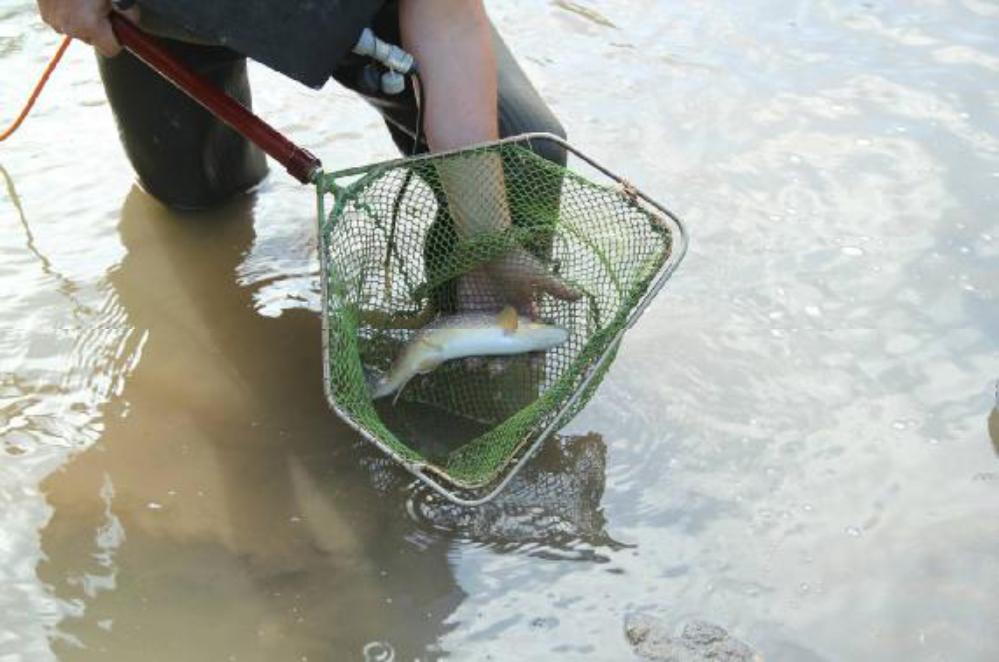 Die Beute, hier eine Bachforelle, wird in dem fließenden Wasser hinter dem Damm wieder ausgesetzt. Noch etwas benommen von dem Elektroschock lassen sich die Fische am einfachsten und ohne Verletzungen umsetzen.
