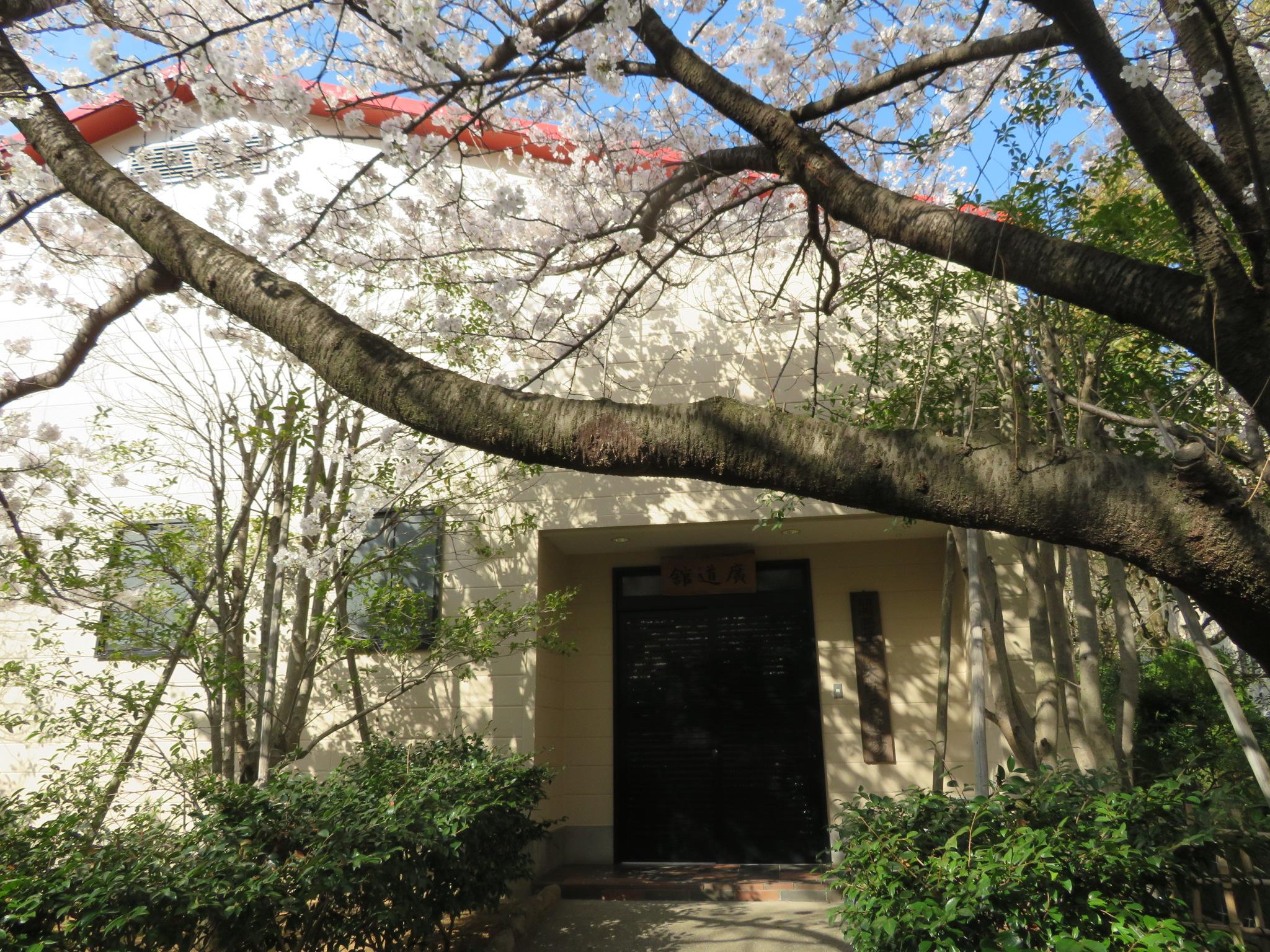 生徒さんを迎えるために道場前の桜が満開でした