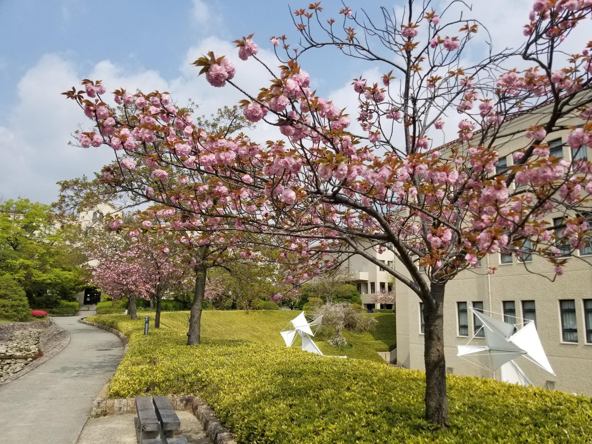 キャンパスの八重桜が満開です