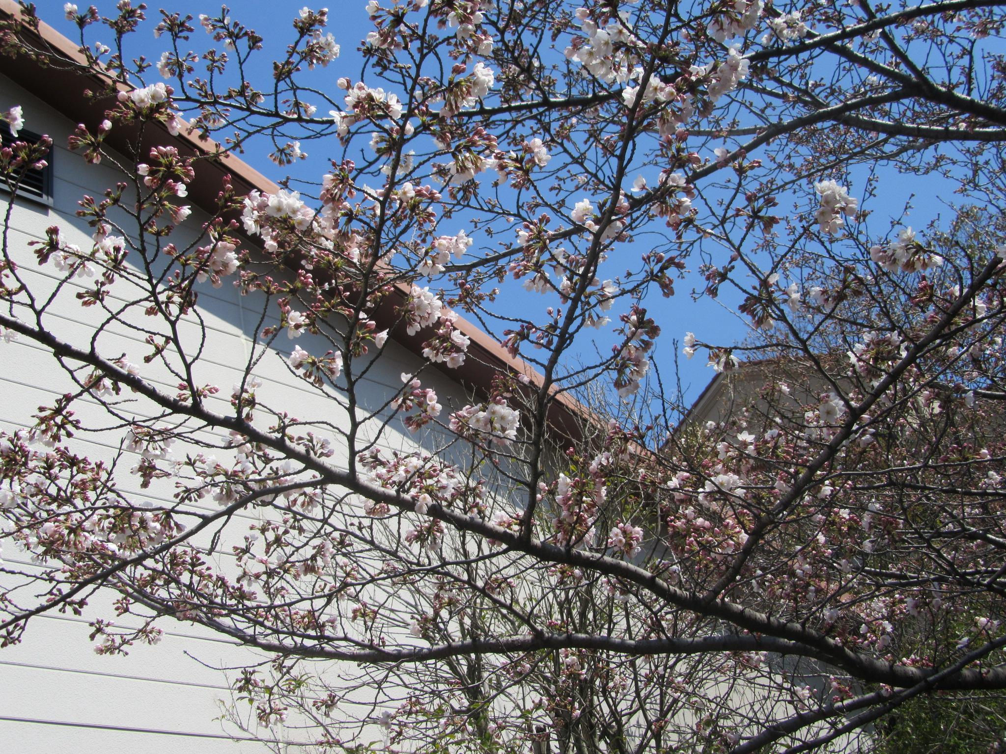 道場前の桜は三分咲き、的中は満開を目指します