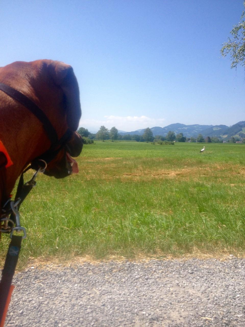 Ein besonderer Moment im Schweizer Ried/Lustenau: Ich sehe einen Storch....