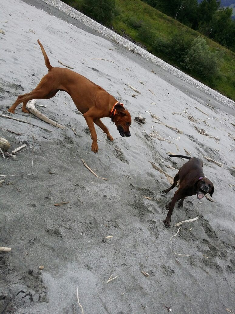 """Beim Spiel mit """"Freundin"""" Akira, eine 12 jährige wunderhübsche Gebigsschweißhund/Weimaraner Mischung"""