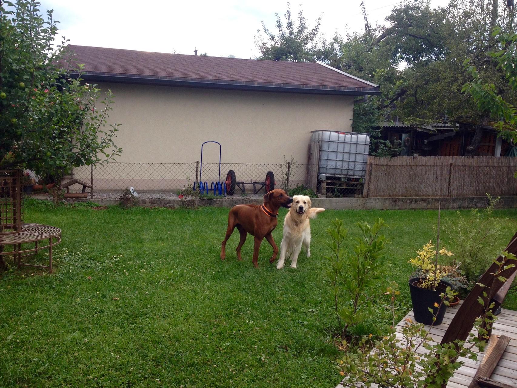 Kurzes Spiel mit Sunny dem Goldie im Garten von Freunden