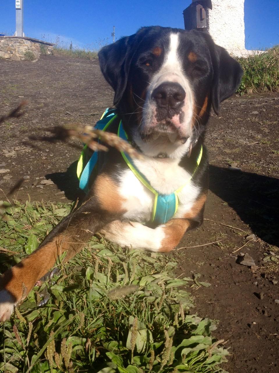Hugo, 3 jähriger Großer Schweizer Sehnenhund