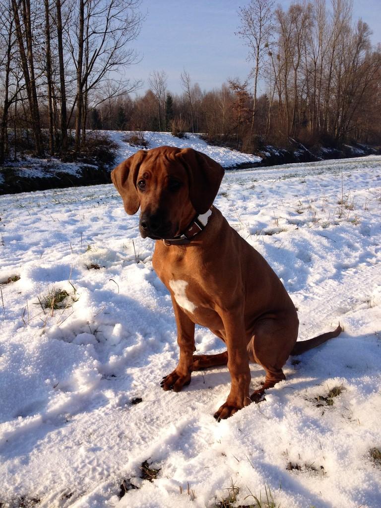Ein Ridgeback SITZT im Schnee!!!