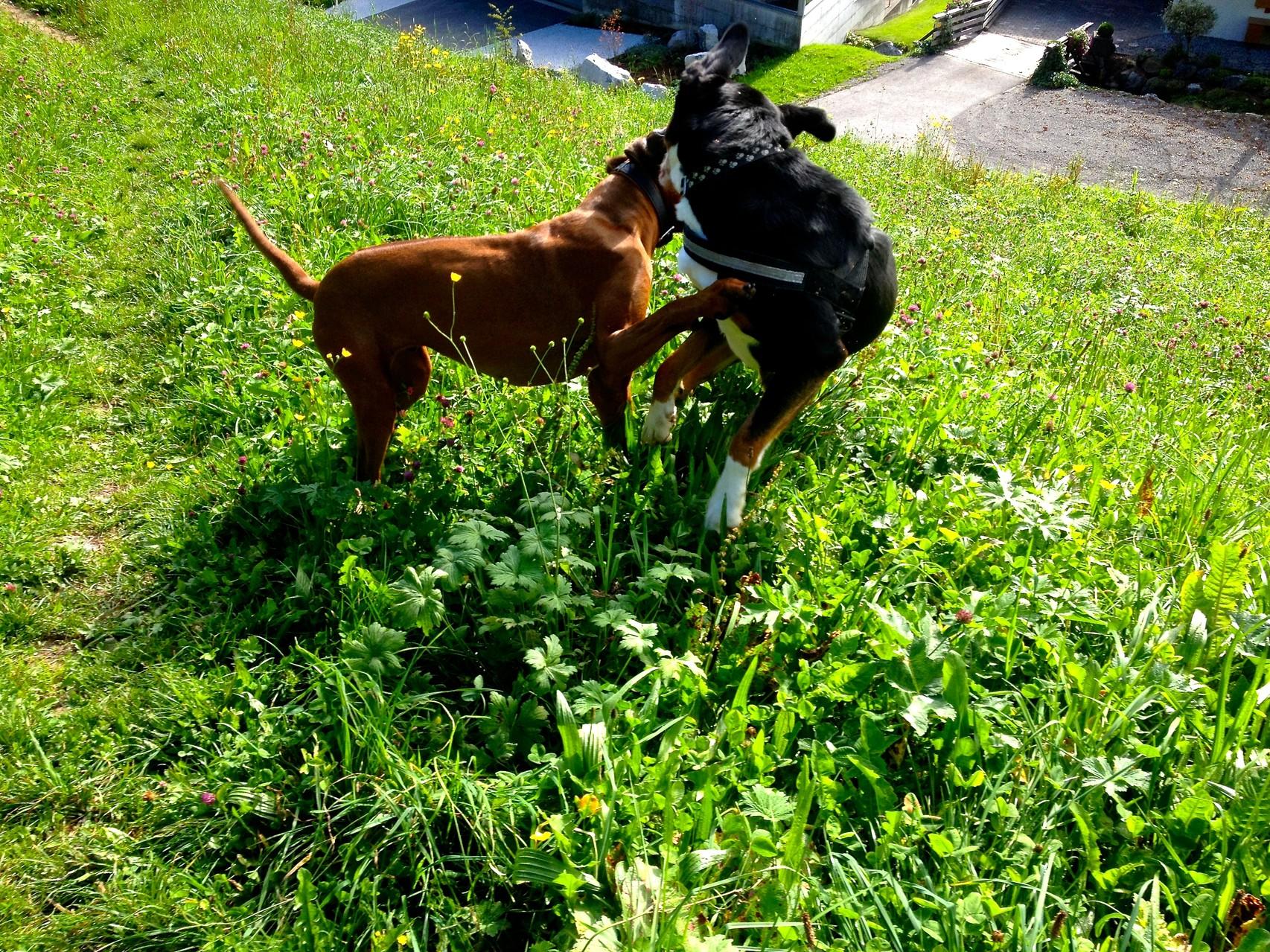 Unterwegs mit großem Schweizer Sennenhund Hugo, Sarah und Frauchen hatten auch ihren Spass!