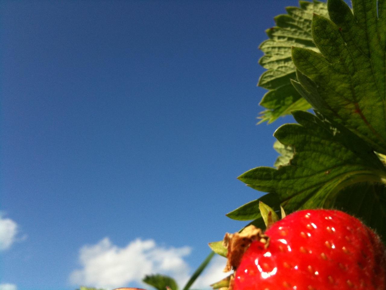 Erdbeeren,