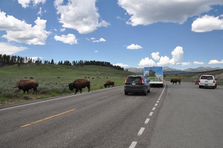 Stau wegen den Bisons