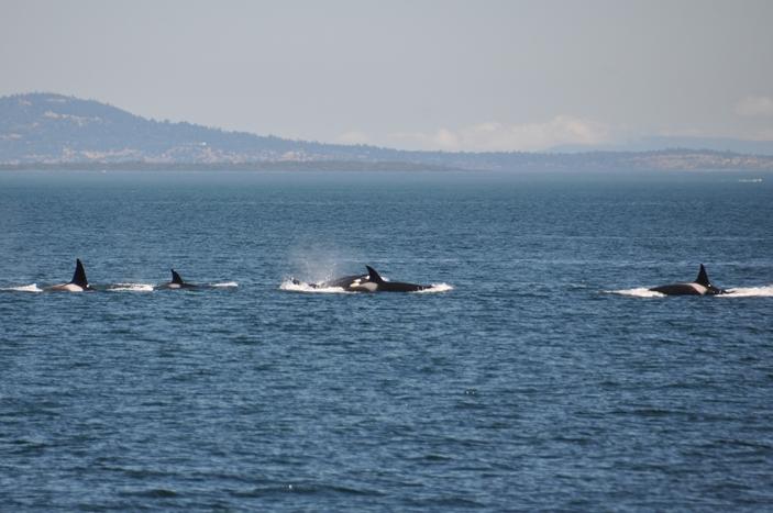 Eine ganze Orca Familie