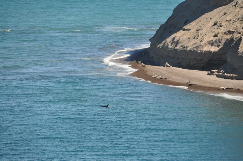 Ein Orca auf Jagd