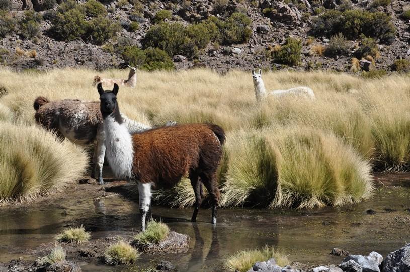 Lamas begegnen uns auf Schritt und Tritt