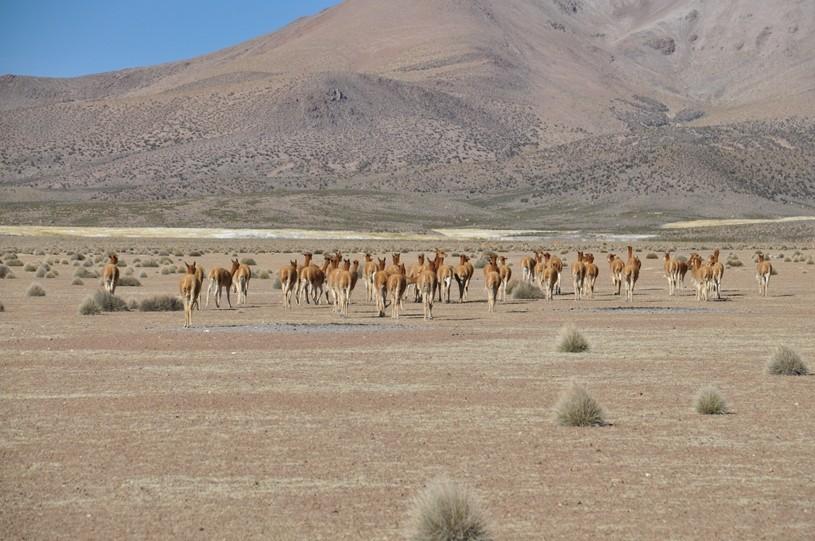 Über 30`000 Vicuñas leben auf dem chilenischen Altiplano!