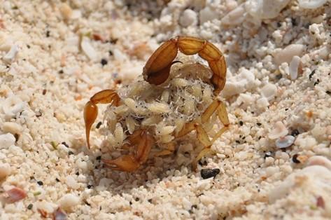 Skorpion mit Jungen